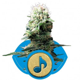 Dance World - RQS - medical seeds