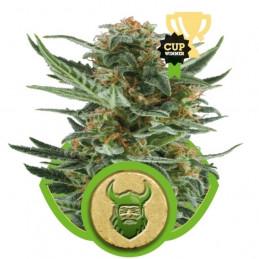 Royal Dwarf - Royal Queen Seeds - samokvetoucí semena marihuany