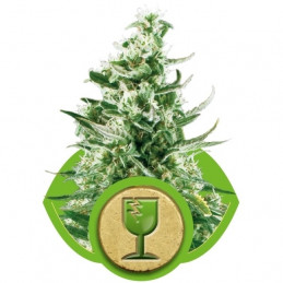 Royal Critical Automatic - Royal Queen Seeds -  autoflowering
