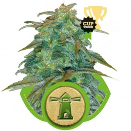 Royal Haze Automatic - Royal Queen Seeds - samokvetoucí semena marihuany