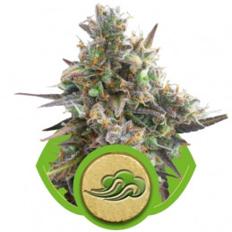 Royal Bluematic - Royal Queen Seeds - autoflowering