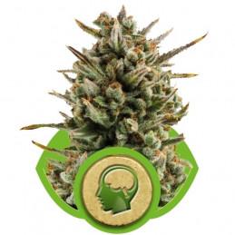 Amnesia Haze Automatic - Royal Queen Seeds - autoflowering