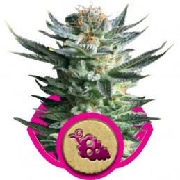 Fruit Spirit - Royal Queen Seeds - feminizovaná semena