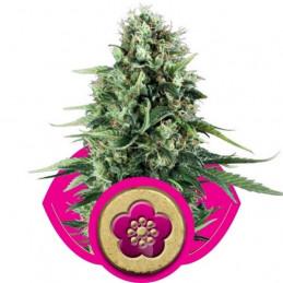 POWER FLOWER - Royal Queen Seeds - feminizovaná semínka konopí