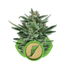 Quick One - Royal Queen Seeds - autoflowering