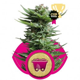 Shining Silver Haze - Royal Queen Seeds - feminizovaná semena
