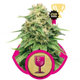 Critical - Royal Queen Seeds - feminizovaná semena