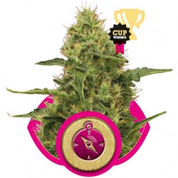 Northern Light - Royal Queen Seeds - feminizovaná semínka marihuany