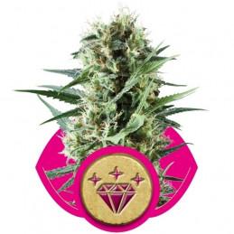 Special Kush 1 - Royal Queen Seeds - feminizovaná semena marihuany