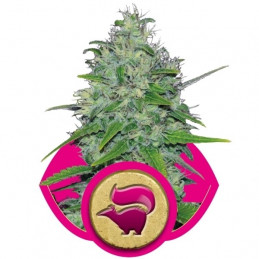 Skunk  XL -  Royal Queen Seeds - feminizovaná semena
