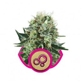 Bubble Kush-Royal Queen Seeds Feminizované semeno mariuhany