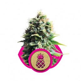 Pineapple Kush-Royal Seeds feminizovaná semena mariuhany
