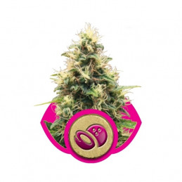 Somango XL-Royal Queen Seeds feminizovaná semena Mariuhany