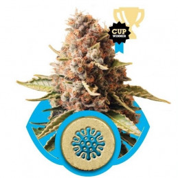 Euphoria - Royal Qween Seeds - Medical