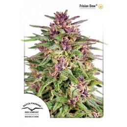 Frisian Dew ® -femizinová semínka konopí