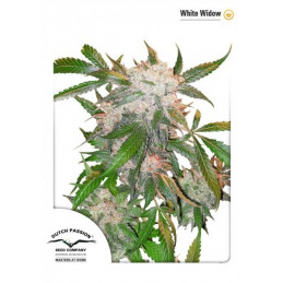 White Widow - feminizovaná semena konopí - Dutch Paisson