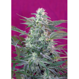 Big Foot - Sweet Seeds - feminizovaná semena