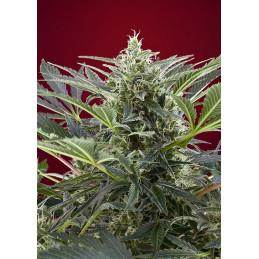 Cream 47 - Sweet Seed - feminizovaná semena mariuhany