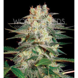 Afgan Kush Ryder  - World of Seeds - autoflowering