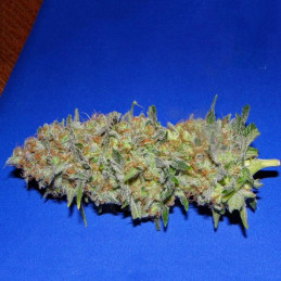 Green Poison F1 Fast Version® - Sweet Seeds