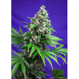 Killer Kush F1 Fast Version® - Sweet seeds