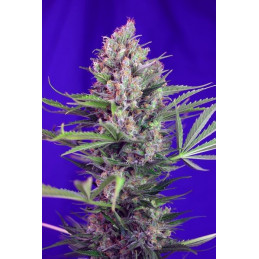 Cream Mandarine F1 Fast Version® - Sweet seeds