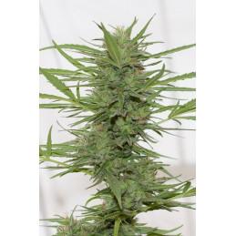 Dr.Greenthumbs Dedoverde Haze Auto -autoflovering - humboldt seeds