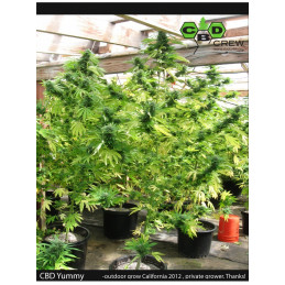 CBD Yummy - CBD GREW - feminized