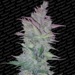 Vertigo - Paradise Seeds - autoflowering