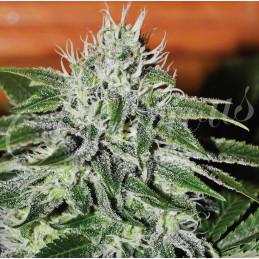 Critical Jack Herer - Delicious Seeds  - feminizovaná semena  sativa