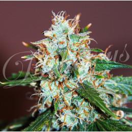 Critical Neville Haze - Delicious Seeds - feminizovaná semena marihuany