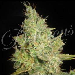 Critical Kali Mist - Delicious  Seeds - feminizovaná semínka marihuany