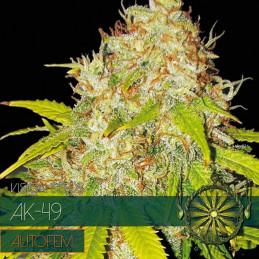Ak-49 Autofem - Vision Seeds - autoflowering