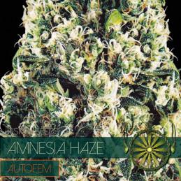 Amnesia Haze Autofem - Vision Seeds - autoflowering