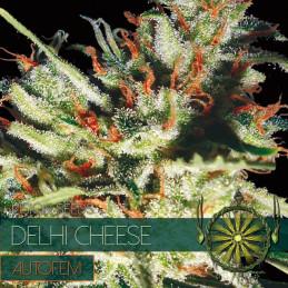 Delhi Cheese Autofem - Vision Seeds - autoflowering