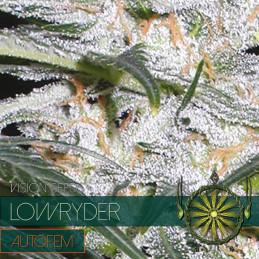 Lowryder Autofem - Vision Seeds - autoflowering