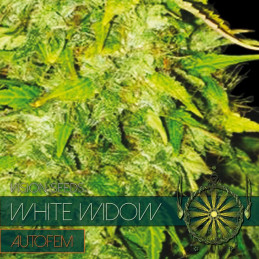 White Widow Autofem - Vision Seeds - autoflowering