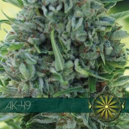 Ak-49 - Vision Seeds - feminizovaná semena