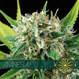 Amnesia - Vision Seeds - feminizovaná semena