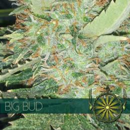 Big Bud - Vision Seeds - feminizovaná semena