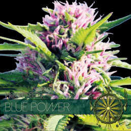 Blue Power - Vision Seeds - feminizovaná semena