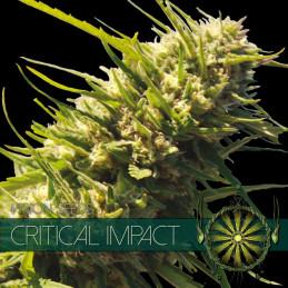 Critical Impact - Vision Seeds - feminizovaná semena