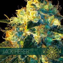 Jack Herer - Vision Seeds - feminizovaná semena