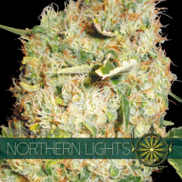 Northern Lights - Vision Seeds - feminizovaná semena