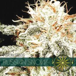 Russian Snow - Vision Seeds - feminizovaná semena