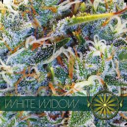 White Widow - Vision Seeds - feminizovaná semena marihuany