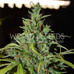 Nevile Haze Auto - Word of seeds - autoflowering
