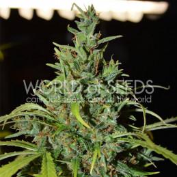 Nevile Haze Auto - Word of seeds - autoflowering
