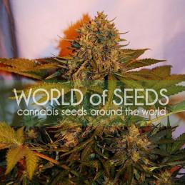 Northern Light x  Big Bud - Word of seeds - atoflowering