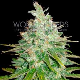 Afgan Kush X Black Domina - World of Seeds - léčebná semena